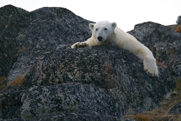 Polar Bear Habitat: An Invasion Due To Climate Crisis